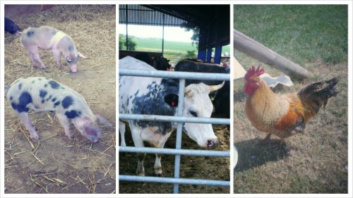 Farm animals: Pigs, cows, chickens
